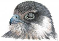 Eurasian Hobby Head