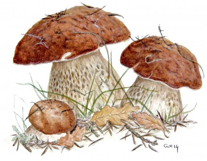 Boletus Edulis Nature Drawings Pictures Drawings Ideas