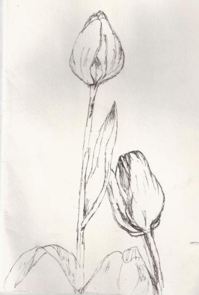 Tulips sketch