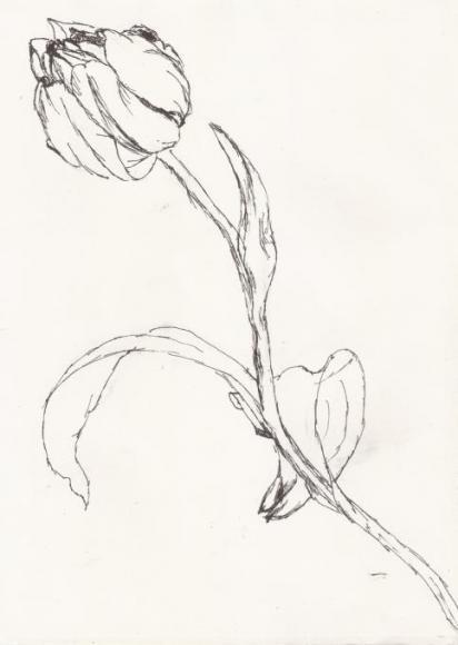 A Tulip Sketch
