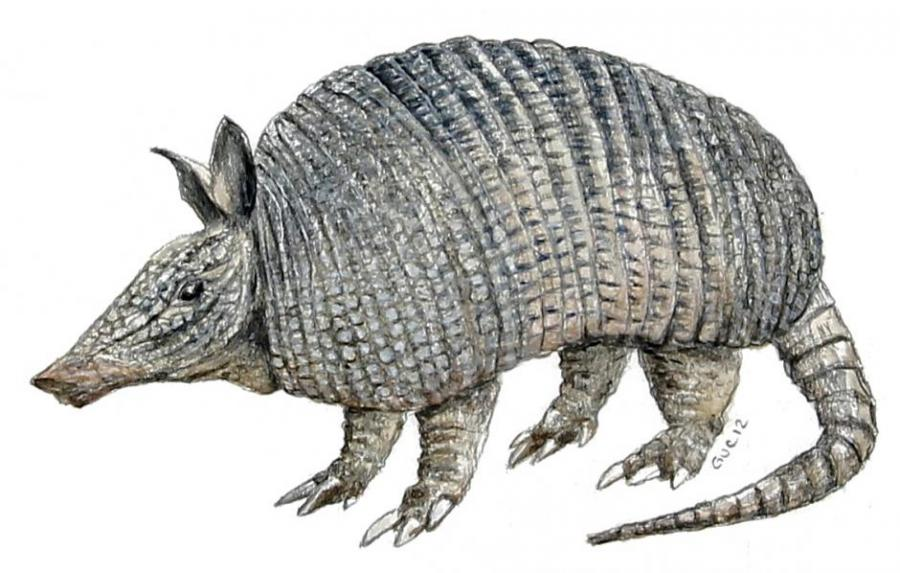 Armadillo Drawing Related Keywords amp Suggestions