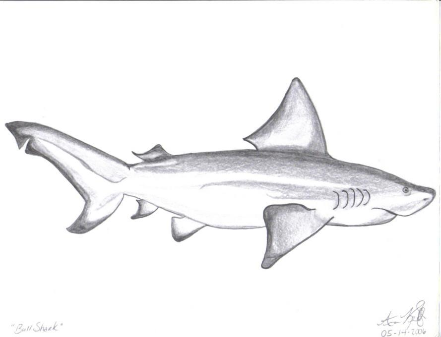 Bull Shark Nature Drawings Pictures Drawings Ideas For Kids