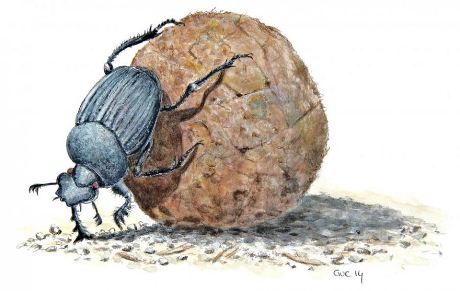 dung beetle nature drawings pictures drawings ideas for kids