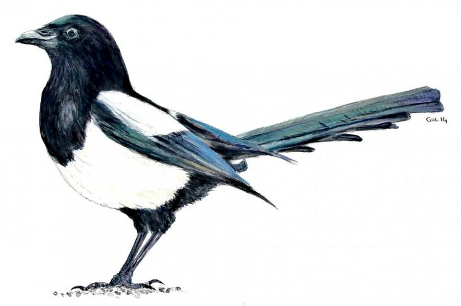 eurasian magpie birds drawings pictures drawings ideas