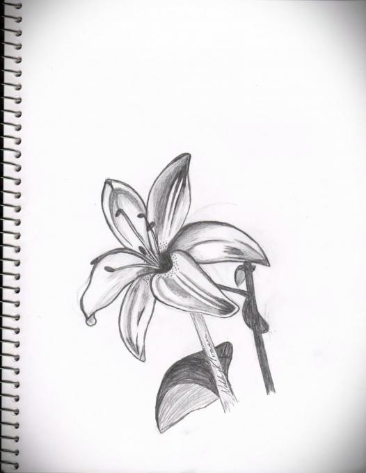 Lily Flowers Drawings Pictures Ideas For Kids Easy