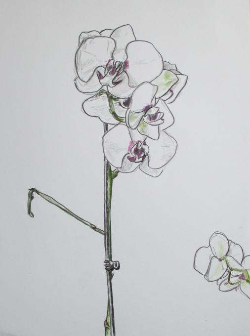 Orchid Flowers Drawings Pictures Drawings Ideas For