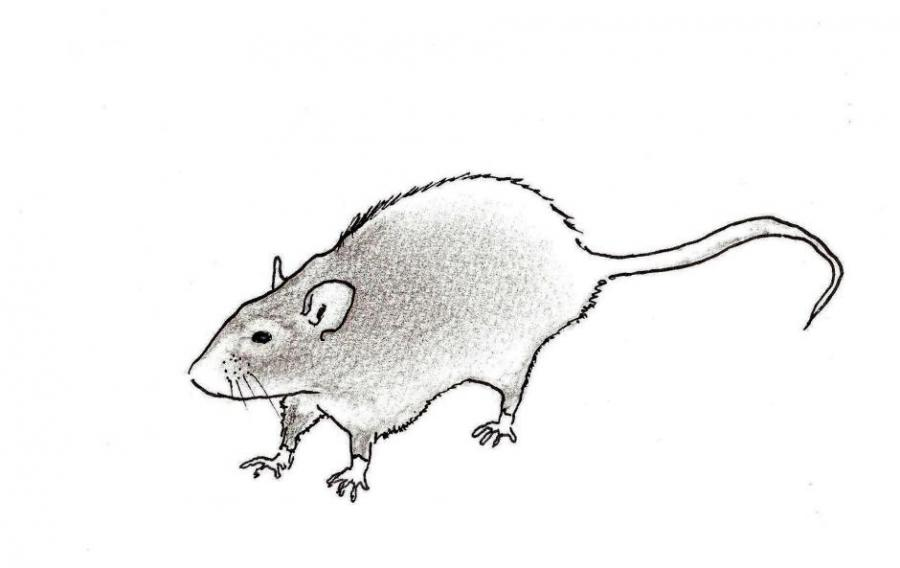 Rat Animals Drawings Pictures Drawings Ideas For Kids