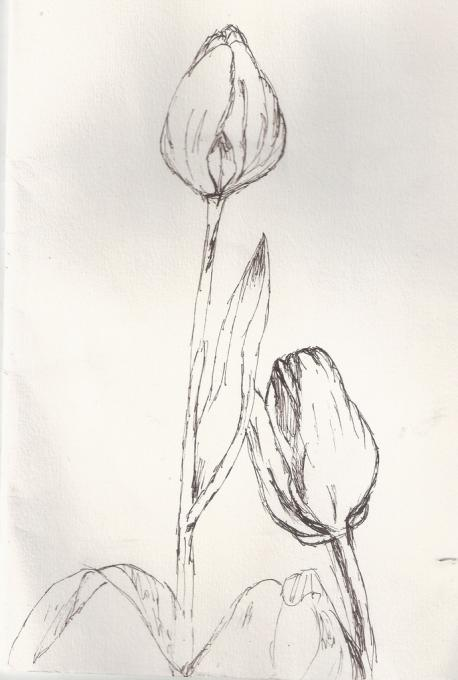 tulips sketch - Simple Sketch For Kids