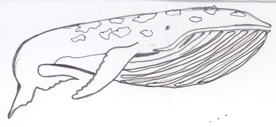 Whale Animals Drawings Pictures Drawings Ideas For