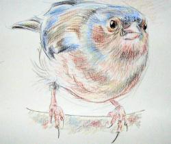 chaffinch