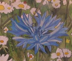 The Cornflower is a National Flower of Estonia