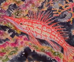 Hawk fish