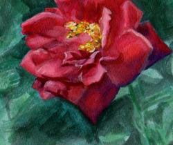 under water rose